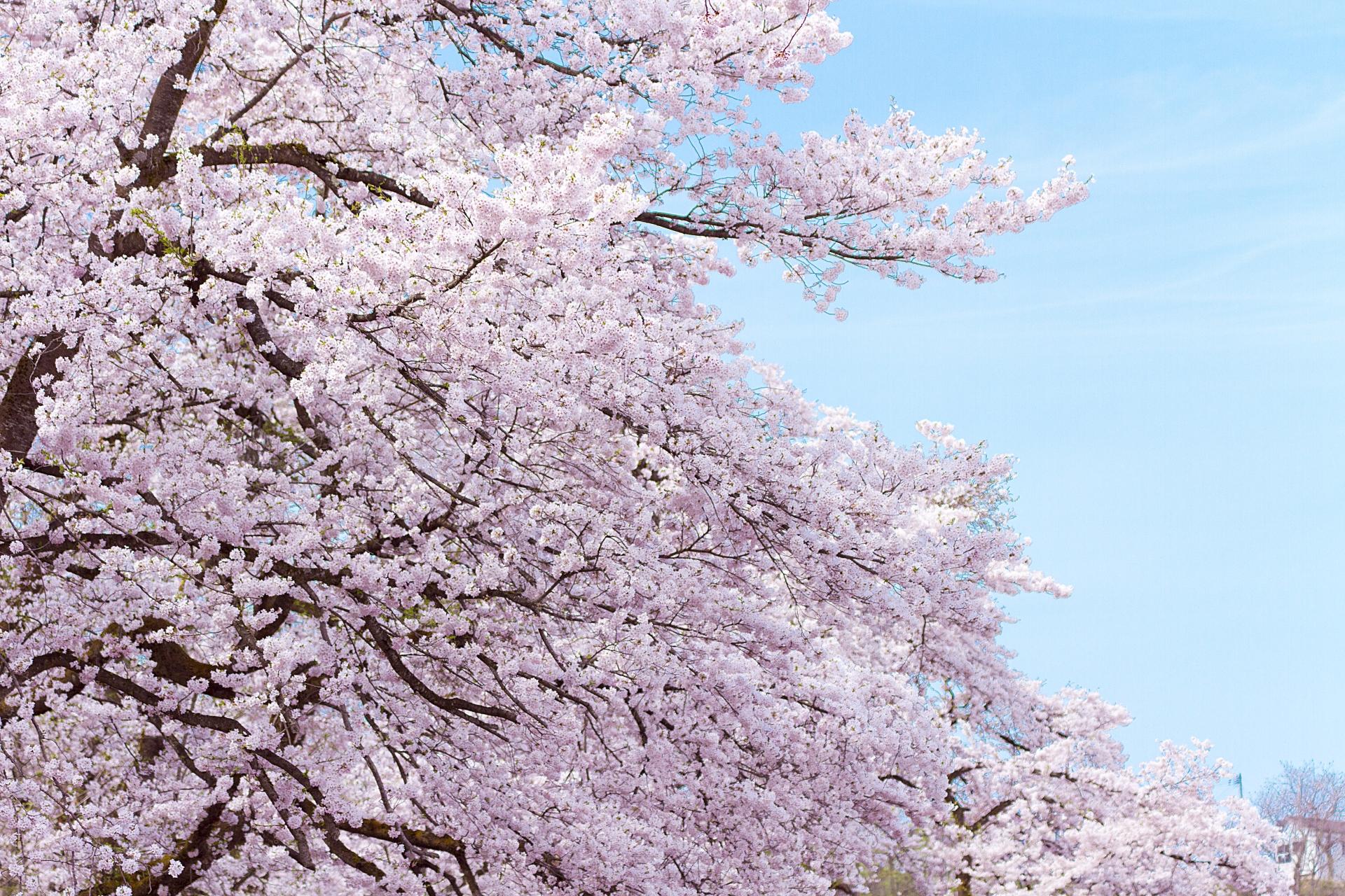 京都の桜の名所をご紹介
